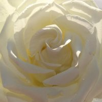 Нежная  роза :: Mariya laimite