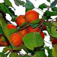 Лето с ароматом абрикосов :: *ALISA* ( minck55 )