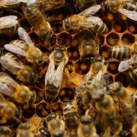 """пчелиная матка и её """"свита"""" :: владимир володенок"""