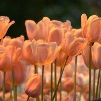 Поближе к свету вытянули шеи и тонкий запах издают тюльпаны... :: Ольга Русанова (olg-rusanowa2010)