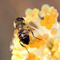 Медовый нектар :: Alexander Andronik