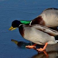 по льду :: linnud
