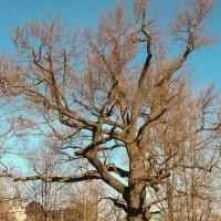 Дерево с ветвями :: Герман