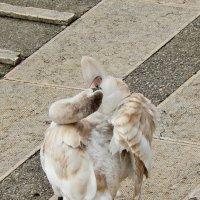 Почищу перышки -  быстрее стану белым, как мама и папа! :: Лина Пушок