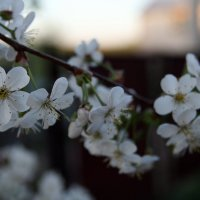 цветушая вишенка :: Лидия кутузова