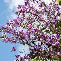 Орхидейное дерево Баухиния :: Александр Деревяшкин