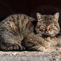 Ленивый кот... :: Анатолий Клепешнёв