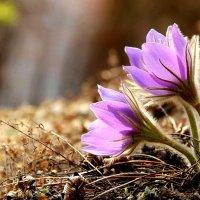 Весенние цветы :: Милешкин Владимир Алексеевич