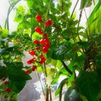 Это растение ..радует нас ягодами даже зимой!!! :: Людмила Богданова (Скачко)