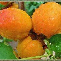 Пишу абрикосы под дождем :: Лидия (naum.lidiya)