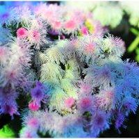 садовые цветы :: Ольга Степанова