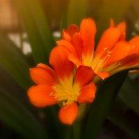 Кливия цветет :: Ирина Рассветная