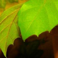 Листья цветка :: Viktor Heronin
