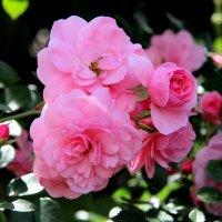 Розовые розы. :: Маргарита ( Марта ) Дрожжина
