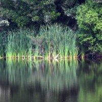Озеро возле Роторуа :: Natalya секрет
