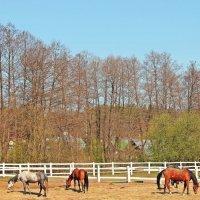 Лошади отдыхают :: Лидия (naum.lidiya)