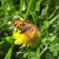 Бабочка на одуванчике. :: maikl falkon