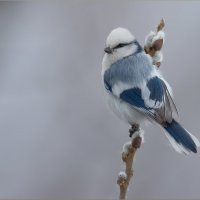 Белая лазоревка :: Анна Солисия Голубева