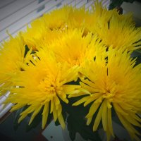 Желтые хризантемы :: Svetlana27