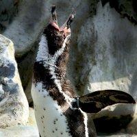 Золотой голос пингвинария :: Alexander