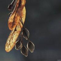 Липовые сережки :: Swetlana V