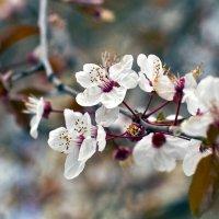 Цвет яблони :: Дмитрий