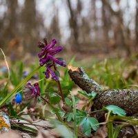 Цветок весны :: Юрий Стародубцев