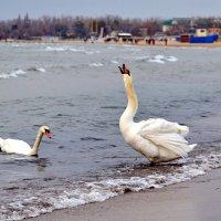 Лебеди в Анапе :: Дмитрий