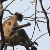 обезьяна.Национальный парк Мумбаи. :: maikl falkon