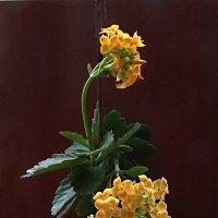 Вместо роз, вместо пышных букетов подари мне цветок каланхоэ! :: Наталья
