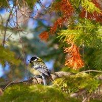 Синичка в весеннем лесу :: Сергей Беляев