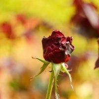 Роза :: vcherkun