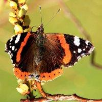 Первые бабочки :: Alexander Andronik