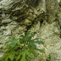 Инжир, пробившийся через камни :: Gennadiy Karasev