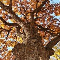 Старый дуб :: °•●Елена●•° ♀