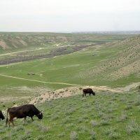 Пейзаж с коровами :: Aidar Атамамедов