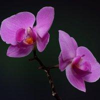 Орхидея 3 :: Владимир