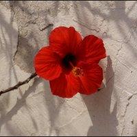 Красный цветок :: Наталия Григорьева