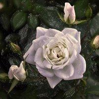 Белая роза и ...  немного Фотошопа :) :: Андрей