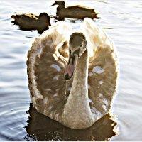 Солнечный лебедёнок :: Валерия Комова