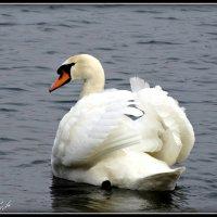 Лебедь :: Fededuard Винтанюк