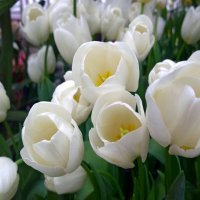 Белые тюльпаны :: Наталья (Nata-Cygan) Цыганова
