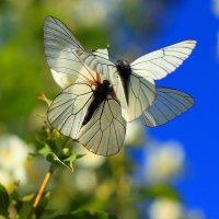 Весна. Бабочки. :: сергей