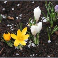 Крокусы  цветут! :: Роланд Дубровский