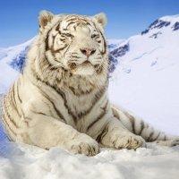 Бенгальский тигр :: Татьяна Степанова