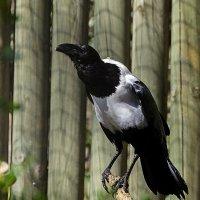 сорока-ворона :: Svetlana Galvez