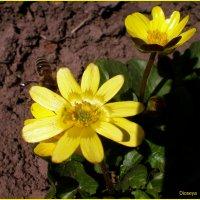Лютики цветут :: Татьяна Пальчикова