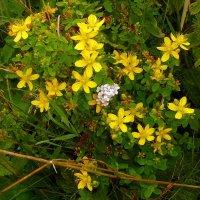 Полевые цветы :: Aнна Зарубина