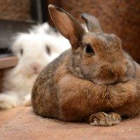 мои кролики :: Сергей Симановский
