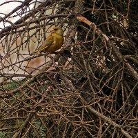 Да орел ,я орел ,но желтухой болею -:)) (Вариант № 2 ) :: Александр Запылёнов